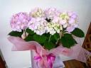 季節の花☆あじさい・ピンク