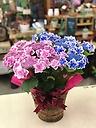 あじさい☆こんぺいとうピンク&ブルー2色咲き