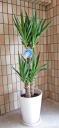ユッカ(青年の木)陶器鉢