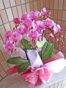 可愛らしいピンクのミディ胡蝶蘭
