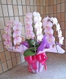 上品な淡いピンクの胡蝶蘭