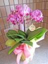 可愛らしいピンクのミニ胡蝶蘭