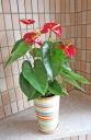 赤いアンスリューム陶器鉢