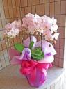 上品な淡いピンクのミニ胡蝶蘭