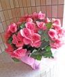 ピンクのリーガスベコニア