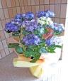 紫陽花 ダンスパーティー ブルー