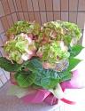紫陽花 グリーンファイヤー