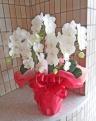 可愛らしい白のミニ胡蝶蘭