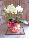 上品な黄色の胡蝶蘭 (華てまり)