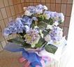 """紫陽花""""おはよう""""ブルー"""