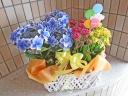 紫陽花とカランコエの鉢花バスケット