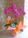 鮮やかピンクの胡蝶蘭