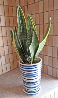 マイナスイオンたっぷり!サンセベリア陶器鉢