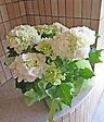 スッキリ白の紫陽花