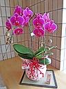 鮮やかピンクの胡蝶蘭(華てまり)