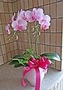 優しいピンクの胡蝶蘭グリーン付き