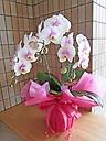 ほんのりピンクの胡蝶蘭