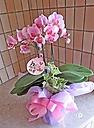 可愛らしいピンクのミディ胡蝶蘭グリーン付