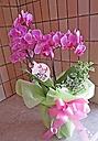 鮮やかピンクのミディ胡蝶蘭グリーン付き