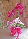 濃いピンクのミディ胡蝶蘭グリーン付き♪