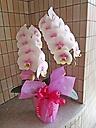ほんのり優しいピンクの胡蝶蘭♪