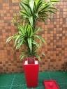観葉植物ワーネッキ