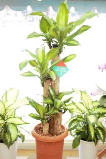 幸福の木マッサン