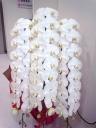 胡蝶蘭白色3本立ち 50輪以上