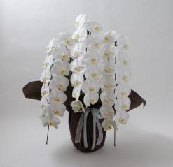 胡蝶蘭白色3本立ち 40輪以上