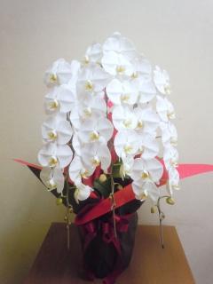 胡蝶蘭白色3本立ち 30輪以上