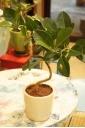 フランスゴム(白陶器入り)