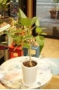 ベンガルゴム(白陶器入り)