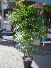 棕櫚竹(シュロチク・10号鉢)