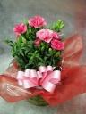 ピンクの鉢植えカーネーション