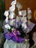 純白 胡蝶蘭3本立