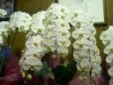 大型胡蝶蘭3本立ち