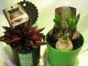 限定品かっこいい!観葉植物とヒヤシンス