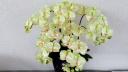 光触媒胡蝶蘭 ライトグリーン Mサイズ5本立ち