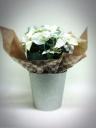 ラメラメプリンセチア(ピュアホワイト)鉢カバー付き