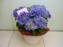 母の日 【アジサイ花鉢(ブルー)】