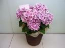 母の日【アジサイ花鉢(ピンク)】