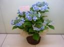 母の日【アジサイ花鉢~コンペイトウ】ブルー