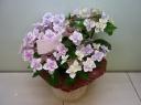 母の日【アジサイ花鉢~コンペイトウ】ピンク系