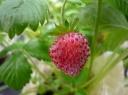 【苺と薔薇の菜園♪】ワイルドストロベリー