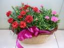 カーネーション Red&Pink~(花鉢)