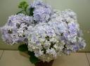 アジサイ花鉢~【万華鏡】Blue