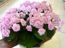 ガク紫陽花・おはよう♪ピンク