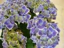 紫陽花・チボリ♪
