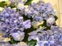 ガク紫陽花・おはよう♪ブルー