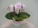 胡蝶蘭とアイビーの寄植【陶器鉢】